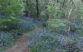 Our blue bell woods are a magnificent sight in late spring.